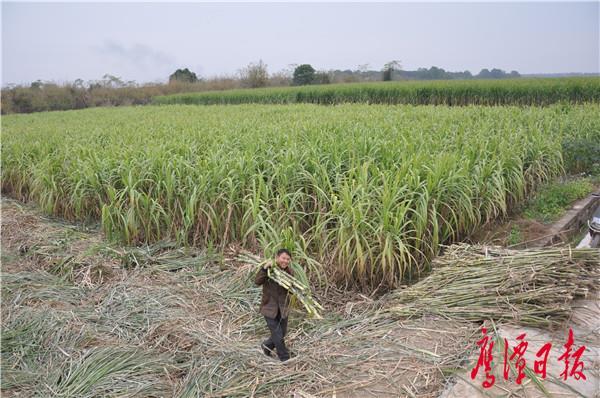 好大一片成熟的甘蔗林.JPG
